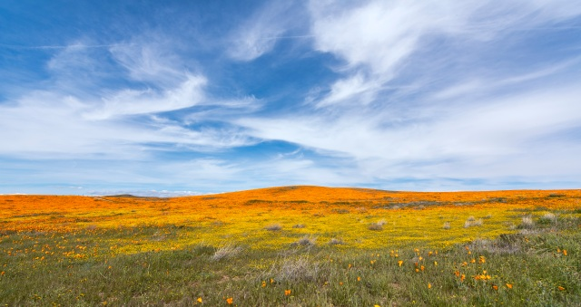 Landscape of yellow poppies