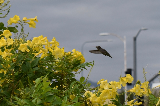 Hummingbird hovering over yellow florals